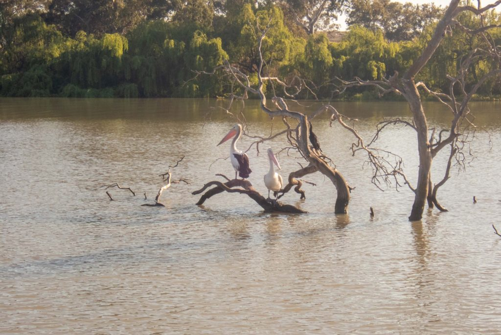 Pelicans on the Murray River at Murray Bridge